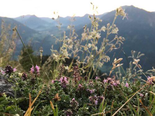 Bergkräuter im Allgäu